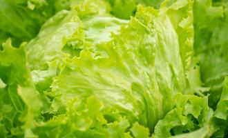 0306 lettuce