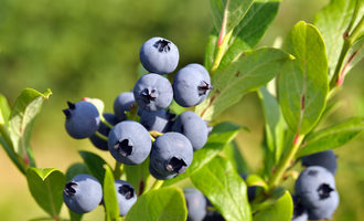 0924   blueberries