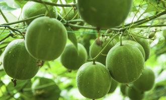 Monkfruit_lead