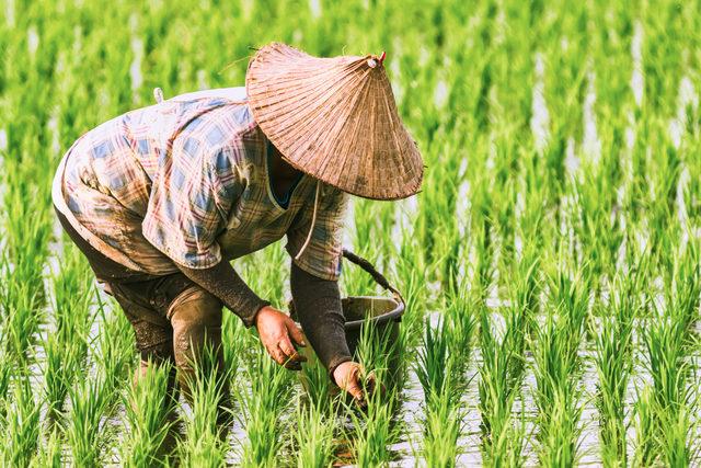 Ricepaddyharvest_lead
