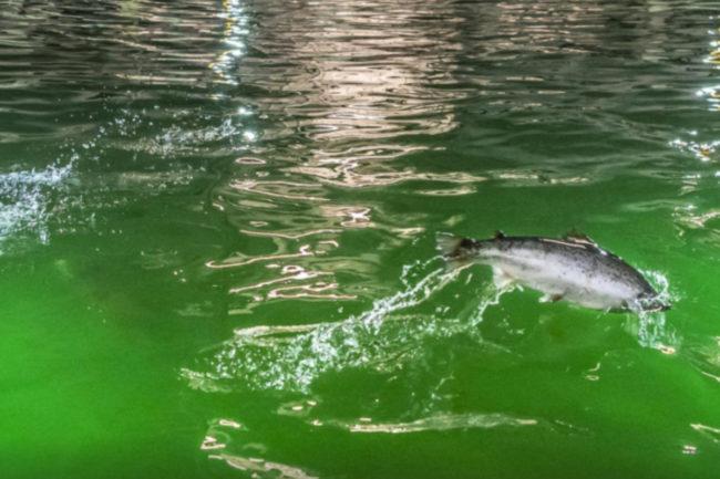 0511_-_bluewater_salmon.jpg