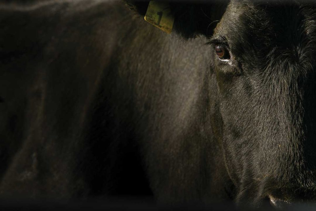 mid-year-review-beef-cattle-adobestock.jpg