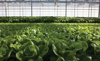 Fresh2o-growers_lettuce_3-copy