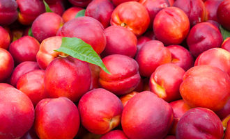Nectarine-harvest-bin
