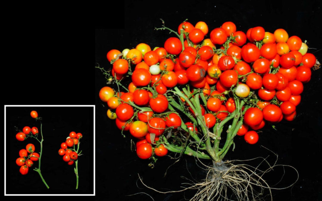 Triple cluster tomatoes