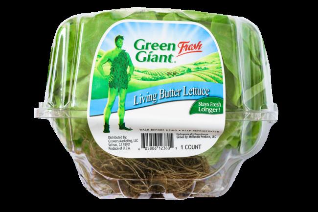 green giant lettuce sp