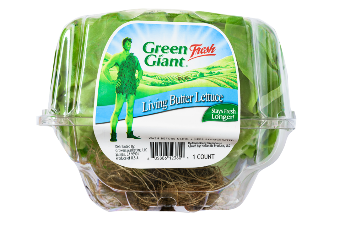 green giant lettuce sp